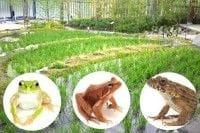 京都のカエル