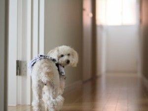 白いふわふわの犬