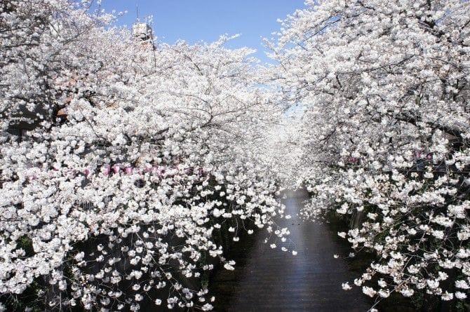 川沿いに続くピンクの花霞