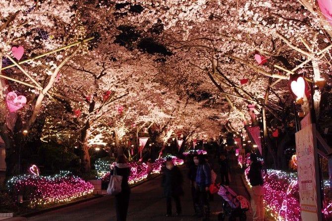 5色のカラーで演出した桜並木「Dream5桜」