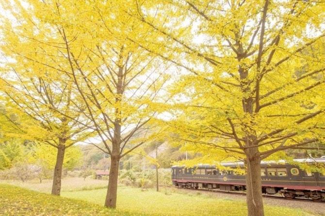 夕日ヶ浦温泉郷付近の車窓からイチョウの紅葉を堪能できる「丹後くろまつ号」(京都府)。絶景を楽しめるよう由良川橋梁付近では列車の速度を落としたり、奈具海岸では一時停車するといったサービスも行われている