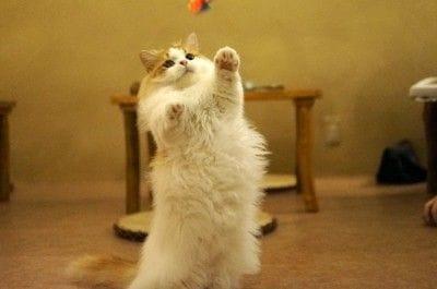 人気ナンバー1のアイドル猫、マンチカンの「もっぷ」。特有の短い足を長い毛に隠して歩く姿は、本物のモップそっくり! たれ目がちでキュートな顔に、老若男女がメロメロです