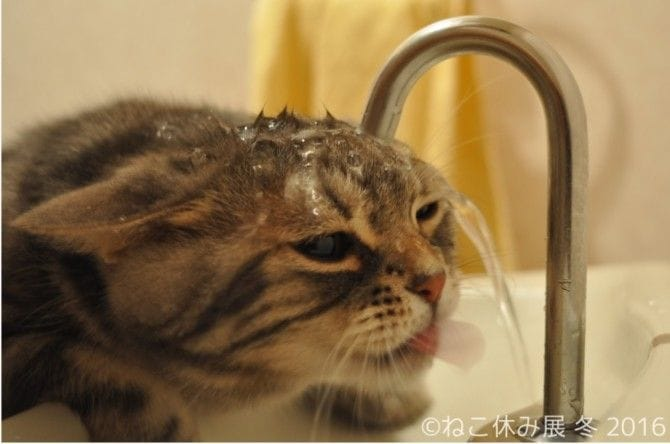 matsumotooooooさんによる「水の飲めない猫 きなごむ」は、YouTubeで大きな話題に