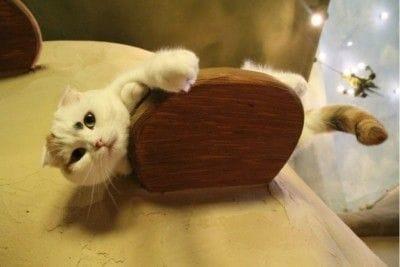 同店の看板猫「てまり」は折れ耳が特徴のスコティッシュフォールド。猫スタッフの中でも年長にあたる、ちょっぴり怖いお姉さん的存在。片方だけの麻呂眉、後頭部のノリ模様が目印です