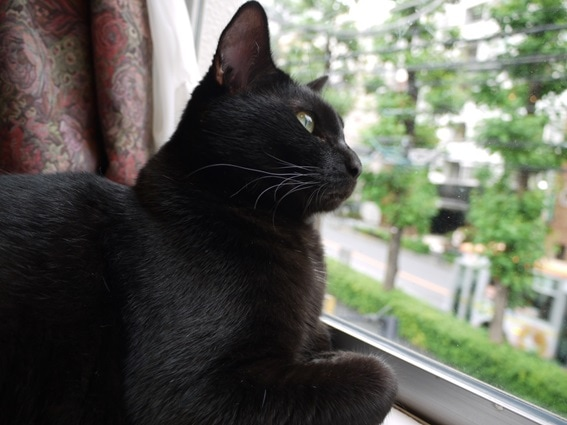 上品な雰囲気ただよう看板猫「クローチェ」。宝石のようにかがやく瞳がチャームポイントです。