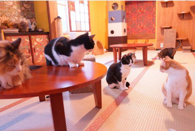 ネコリパブリックにいる猫スタッフたちは、里親に巡り会うチャンスの少ない「成猫」が中心。やんちゃだったり、おっとりだったりと、成猫ならではの個性に驚かされることも多いのだとか。