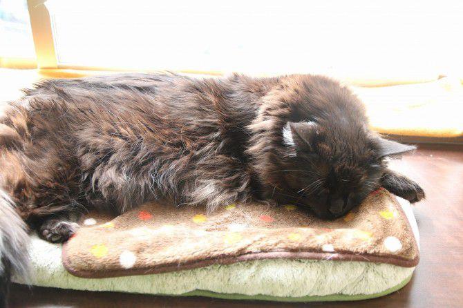 299随一の巨猫ちゃん「ウルル」。どっしりと構えた姿は貫禄十分! ふさふさとした豊かな毛並みが特徴の黒猫です。