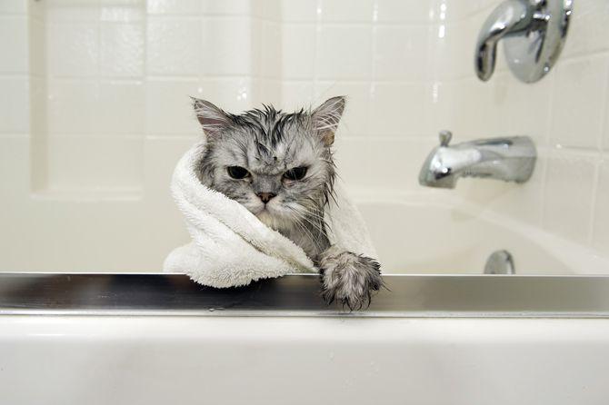 「Photoback ねこアワード2016」 http://www.photoback.jp/Contest/Information ※濡れてタオルを羽織った猫