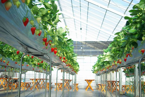 イチゴに土がつかない高設栽培