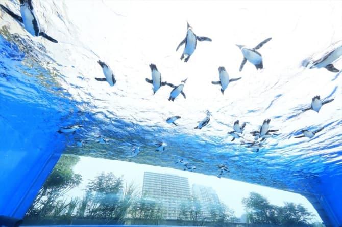 「サンシャイン水族館」の空飛ぶペンギンの展示。