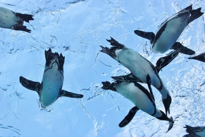 ペンギンの給餌パフォーマンス。