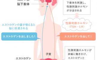 脳の視床下部、下垂体と女性ホルモン分泌の関係(イメージ)