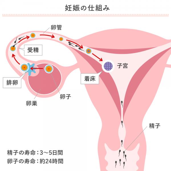 妊娠の仕組み(排卵~着床まで)